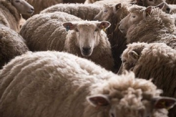 Sheep_1464276825348_2519022_ver1.0