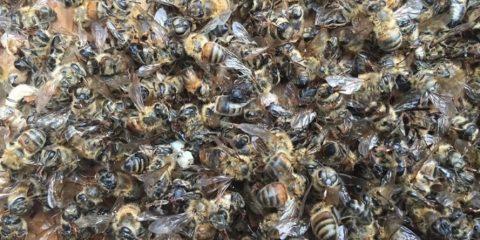 flowertown-bee-deaths01-889x667