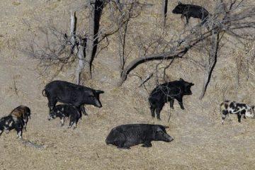 feral-pigs-texas-2017-2-21