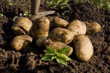 potato-1925975_1280