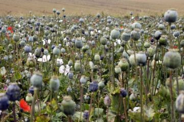 NORTH KOREA OPIUM